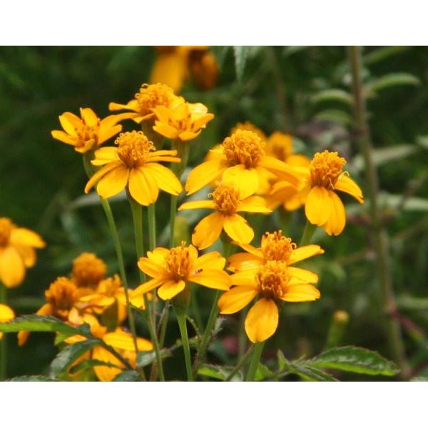 【露西皂材】100ml萬壽菊精油 (Tagetes erecta Linn)