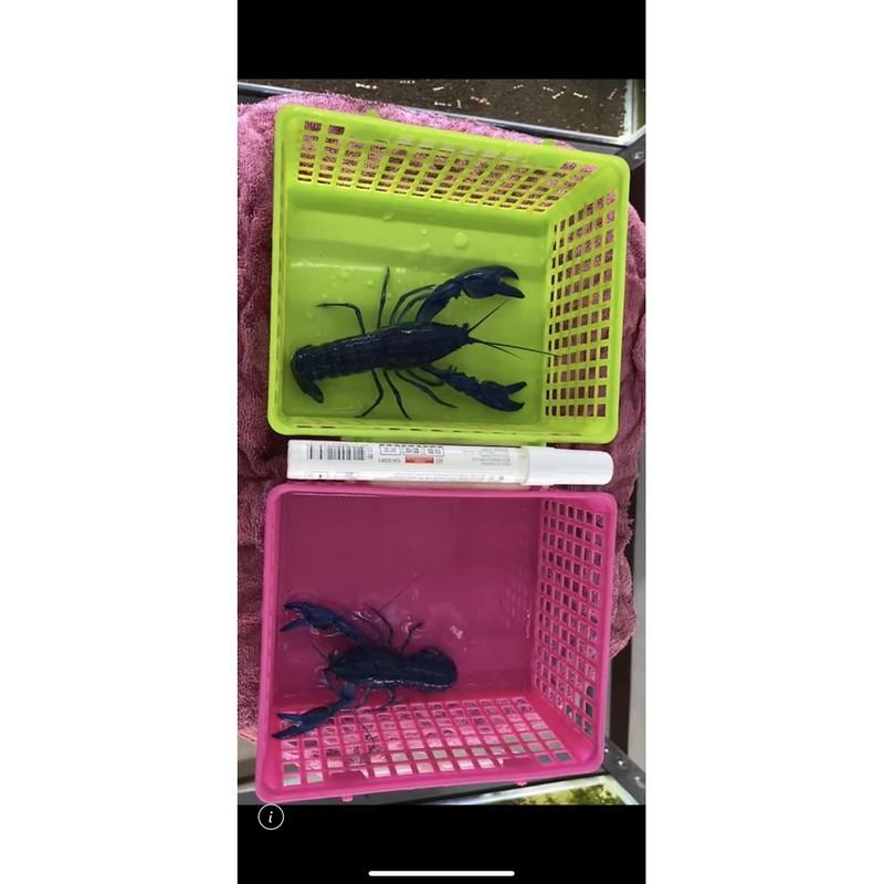 純藍✨螯蝦🦞仔(公母照)