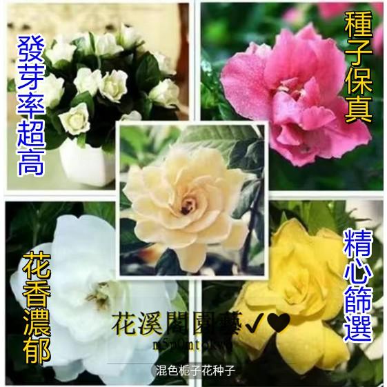 梔子花 種子 四季開花 易種活 梔子花種 室內植物 庭院 陽臺 盆栽花卉
