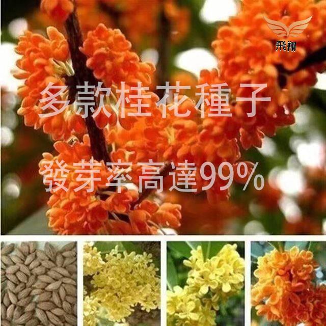 規劃種子當年新籽 四季桂八月桂金桂沉香桂花❤️飛翔花園❤️