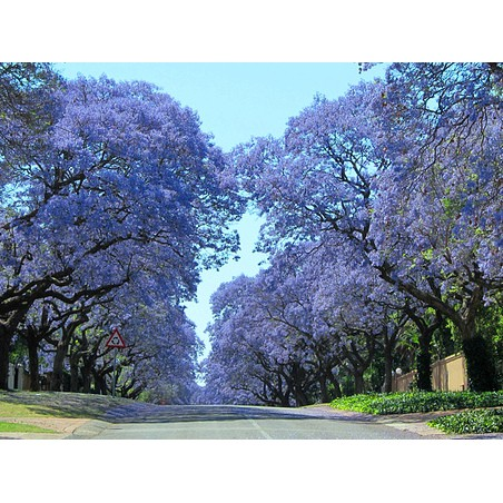 【268菜園】藍花楹種子~超級夢幻