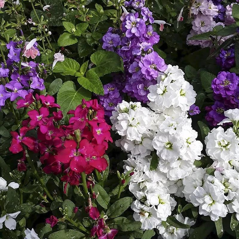 禾月小鋪 紫羅蘭種子 草桂花富貴花紫羅藍盆栽花庭院陽臺盆栽花卉花籽四季播