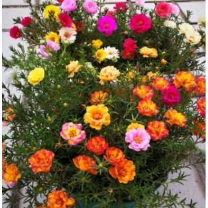 多重辦太陽花種子 太陽花 種子 重辦太陽花