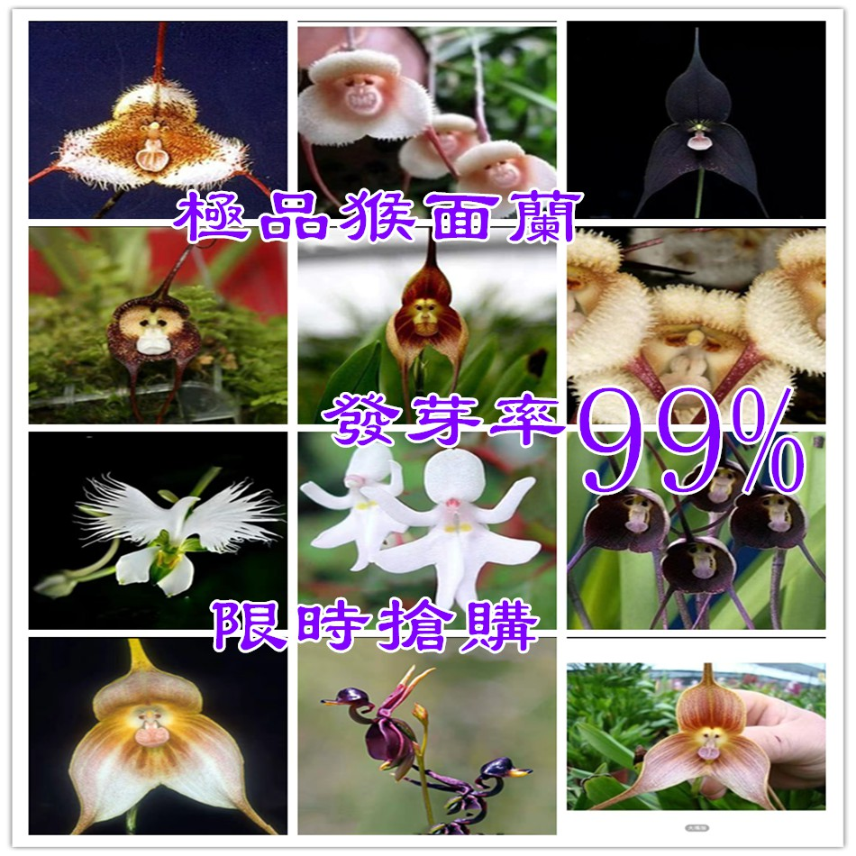耐寒猴面蘭花(種子) 精品猴面小龍蘭 猴蘭花(種子) 猴臉蘭花(種子)盆栽奇花異 稀有品種