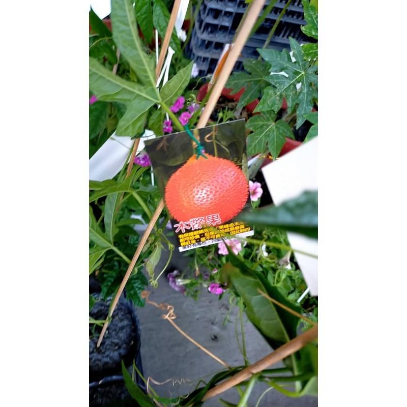 霏霏園藝    木鱉果苗特價一棵150元公母一對350