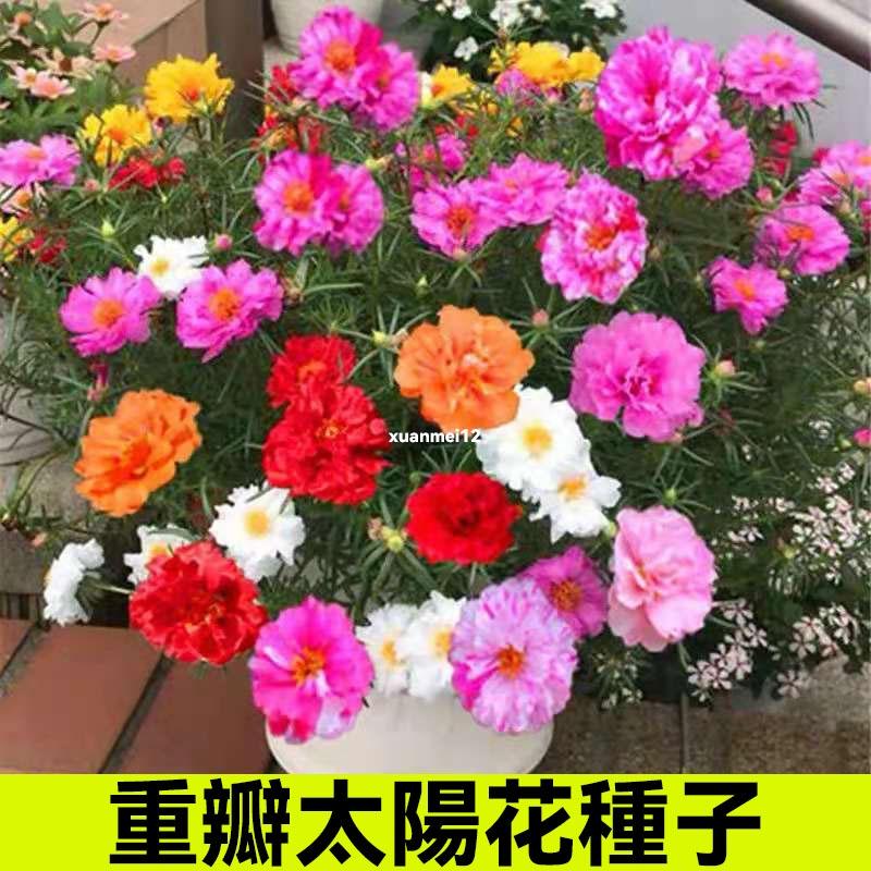 重瓣太陽花種子 四季開花花種子 易活種子 盆栽室外太陽種子 花種籽子 花卉種子