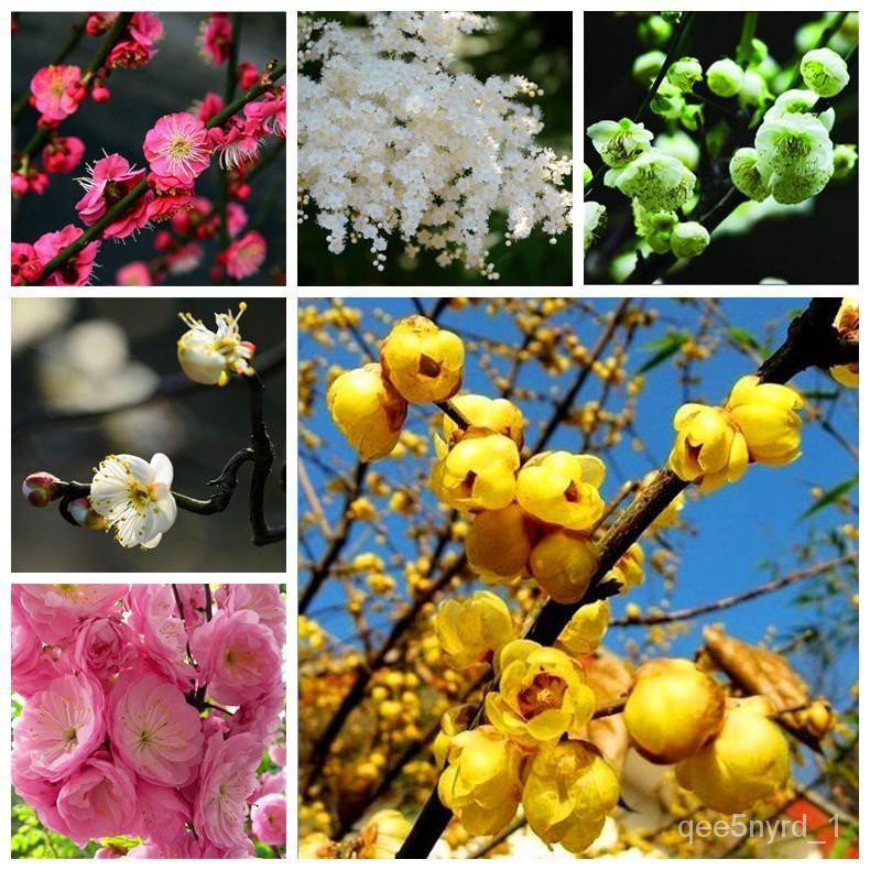 花卉種子 臘梅種子 梅花四季植物花卉樹樁觀賞盆景梅花種子