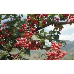 農產 山花椒花椒種子  種子 (蔬果類種子)每包約10粒/M2045