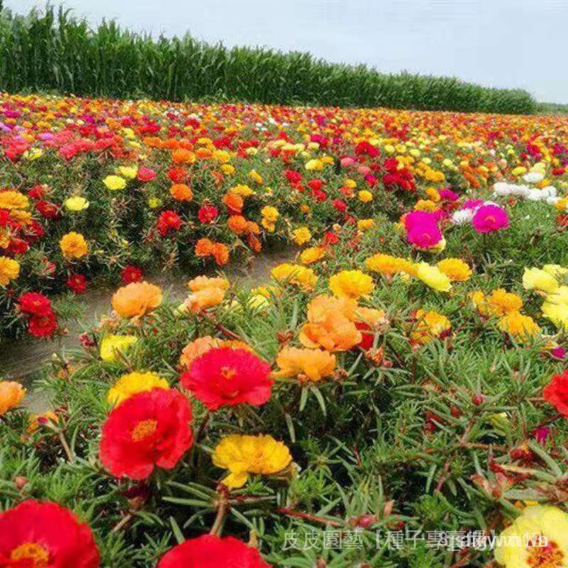 夯全網最多款種子夯太陽花種子原包裝重瓣太陽花種子四季易種花卉陽臺盆栽鮮花種子 QjMc