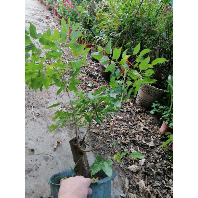 阿伯要退休出清便宜賣老粗頭的桑椹樹便宜賣優惠郵局免運費需先付款很好種植很會生果實喜歡全日照