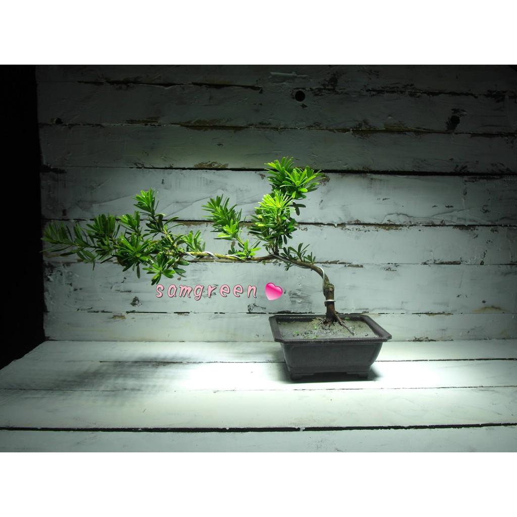 【samgreen♡羅漢松盆景】雕塑盆景/養性小品/5年金鑽母株/宮廷風