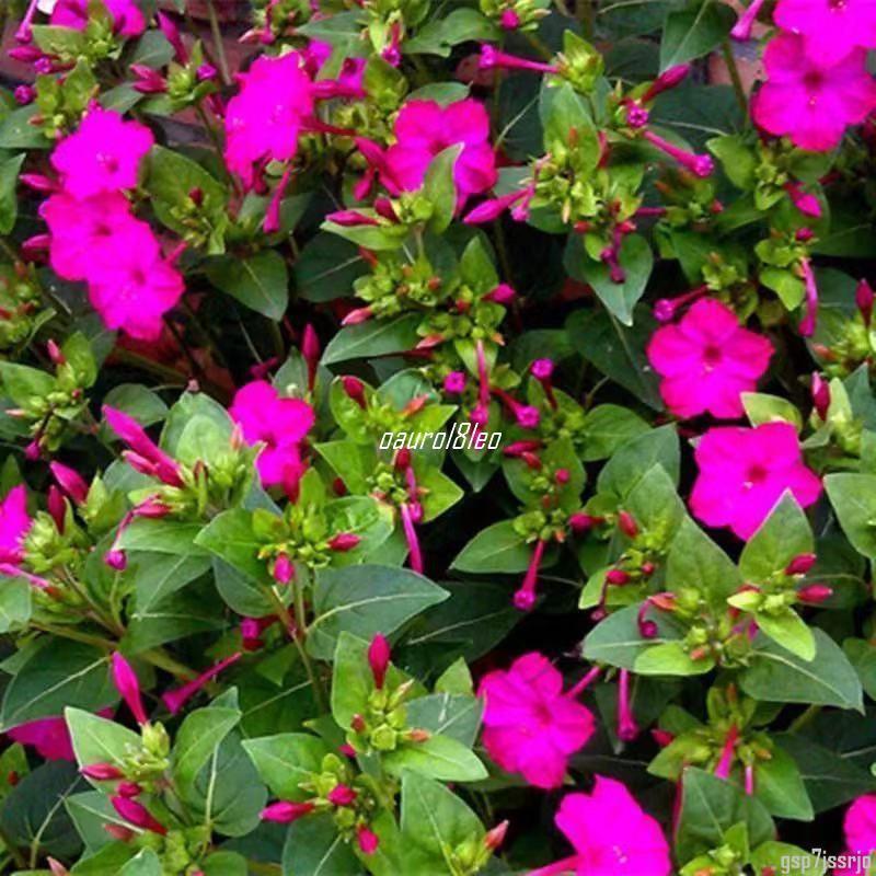 【台北種子專賣場】紫茉莉花種子 驅蚊蟲茉莉花種子花種子 花卉種子 四季種子 種子