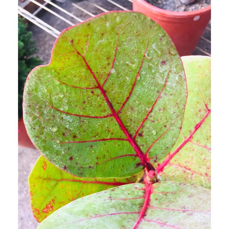 🌿植悟誌の解鬱小森林🍀觀葉型海葡萄樹(別名:濱葡萄樹)葉色美麗果可食,五寸盆栽高度約30~45公分
