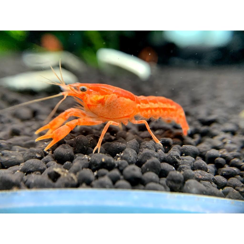 【T.A. 三界水族】CPO 侏儒橘螯 迷你螯蝦 螯蝦 觀賞蝦 《飼料、釣餌》