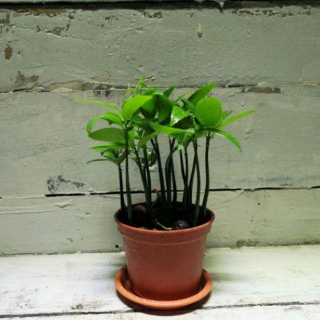 【samgreen♥️日本竹柏🌿】3吋盆/室內盆栽/長青翠綠/極簡綠化