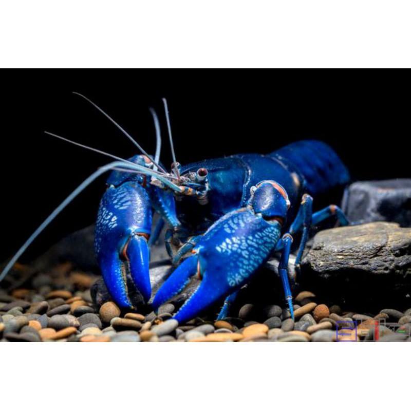 初衷.飼料.天空藍魔破壞仔蝦,破壞者,黃尖螯破壞者,火山基因釣餌,螯蝦.飼料.龍蝦
