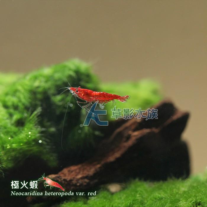 【AC草影】極火蝦【一份】琉璃蝦 24K金背黃金米蝦 飼料/活餌 玫瑰蝦 火焰蝦