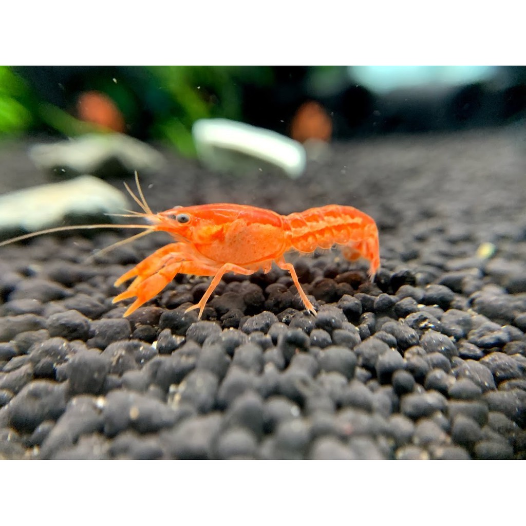 【T.A. 三界水族】CPO 侏儒橘螯 迷你螯蝦
