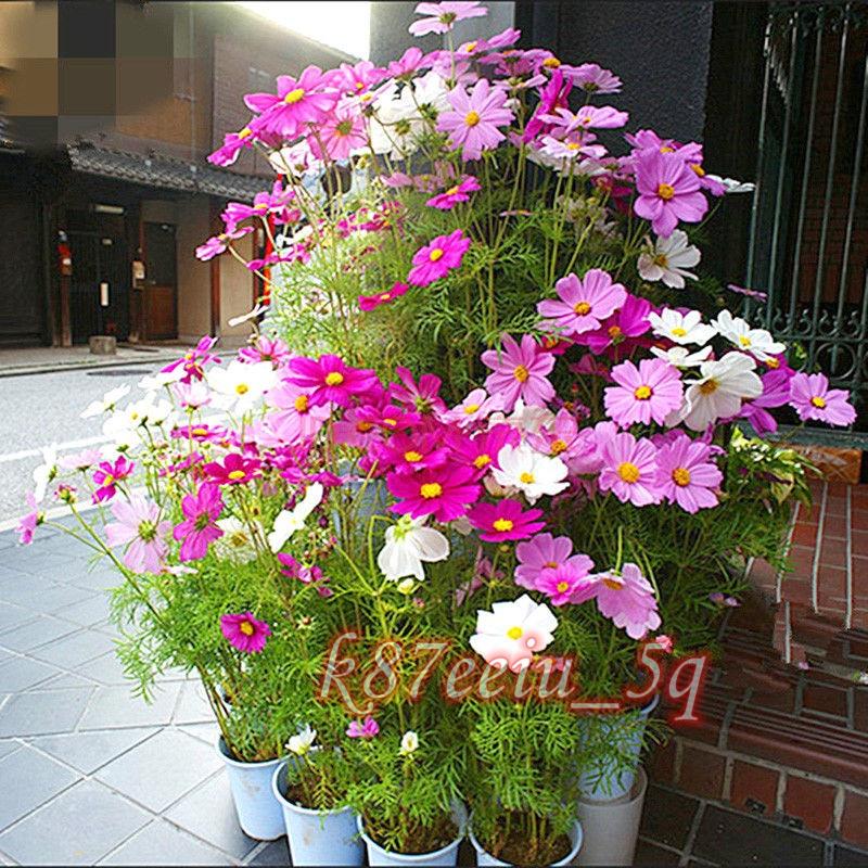 波斯菊花種子 格桑花種籽 太陽花花籽 菊花 易活 開花庭院野花種籽
