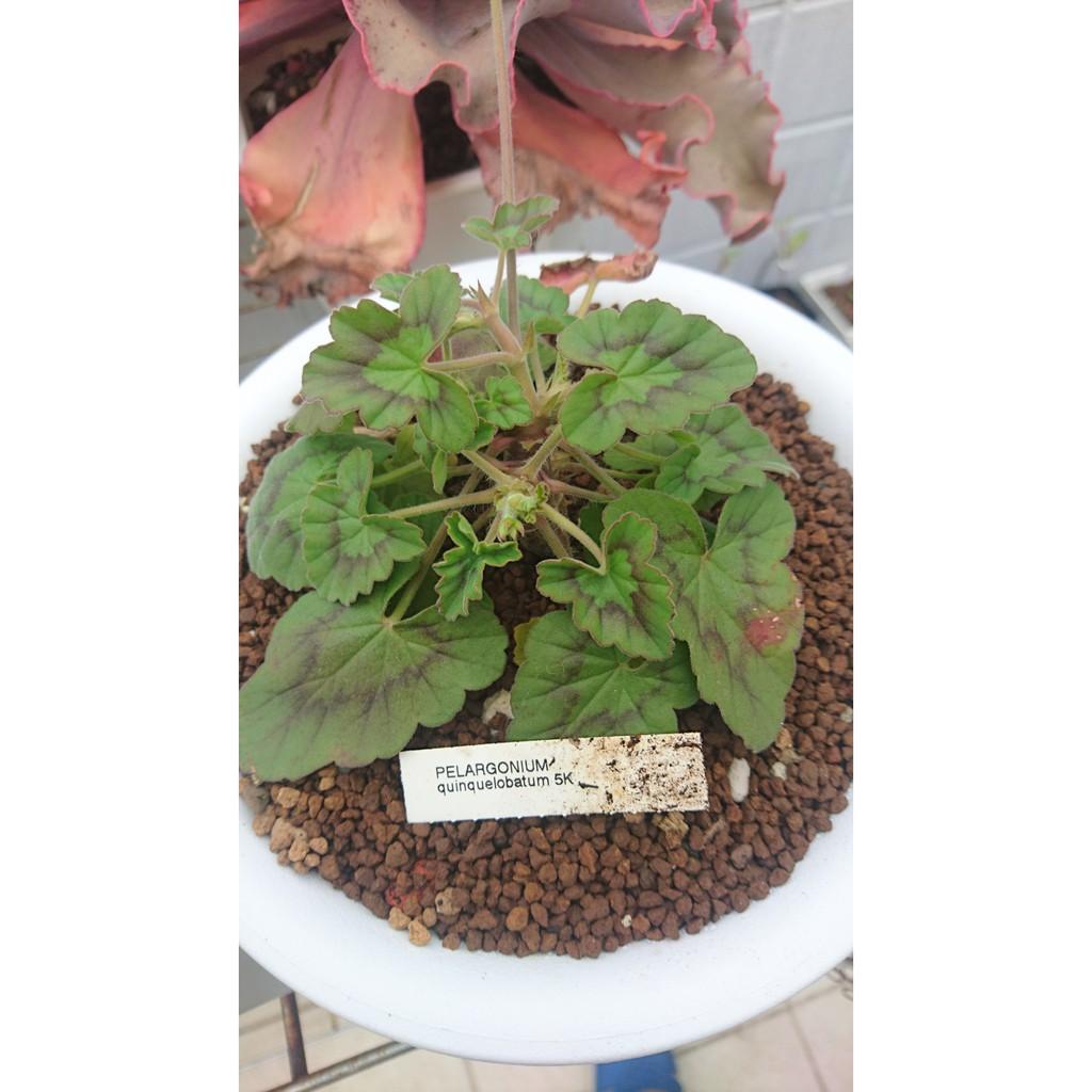 花椒洋葵P. quinquelobatum 種子
