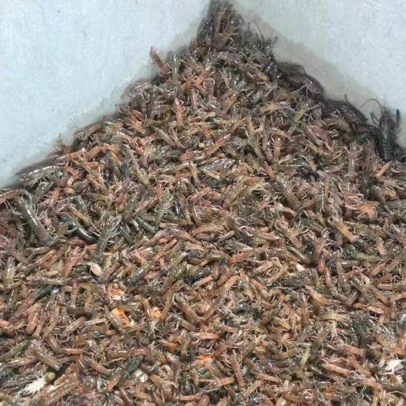 「菖旺」澳洲淡水龍蝦苗2-3cm500隻