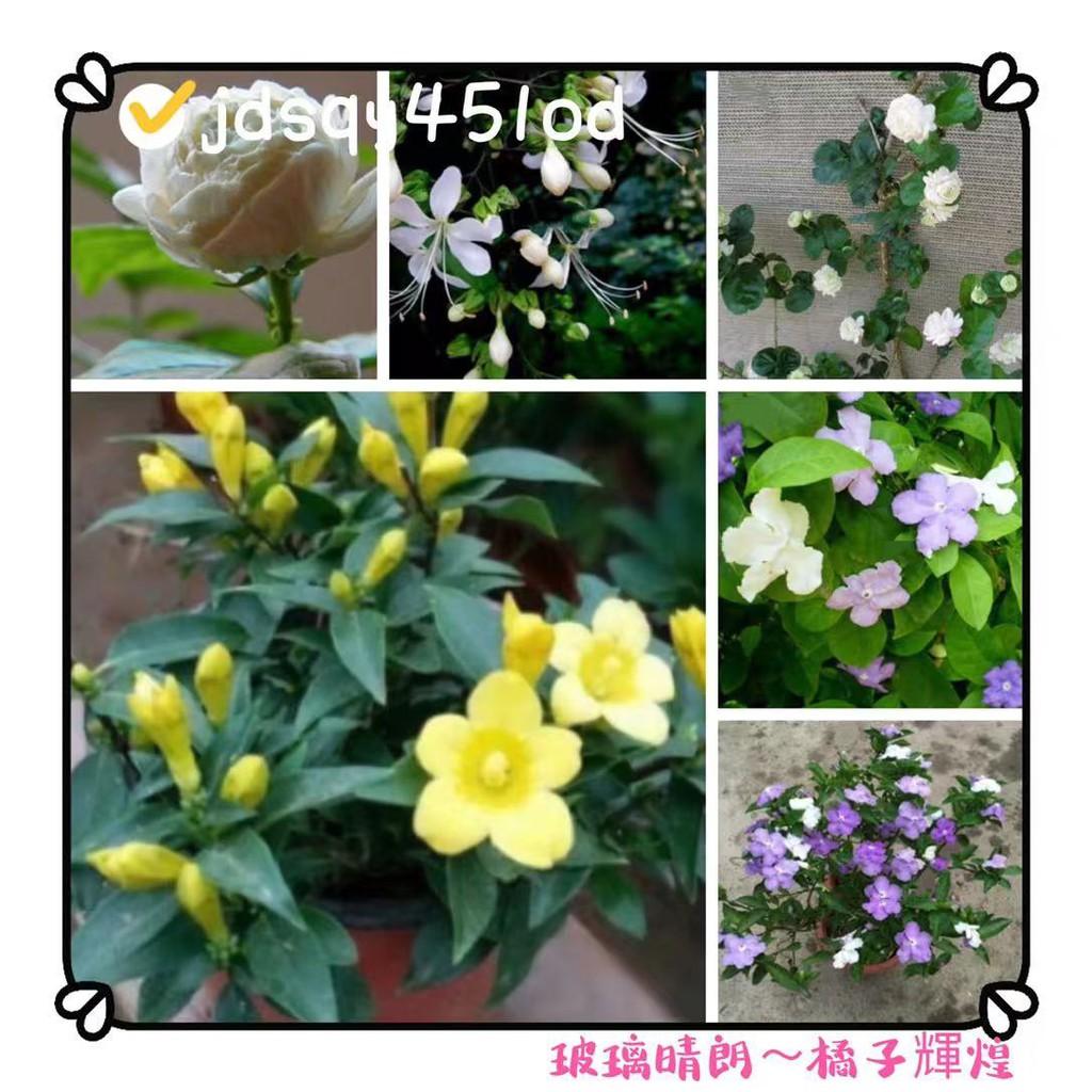 稀有重辦茉莉花種子 虎頭茉莉花種子 四季易種