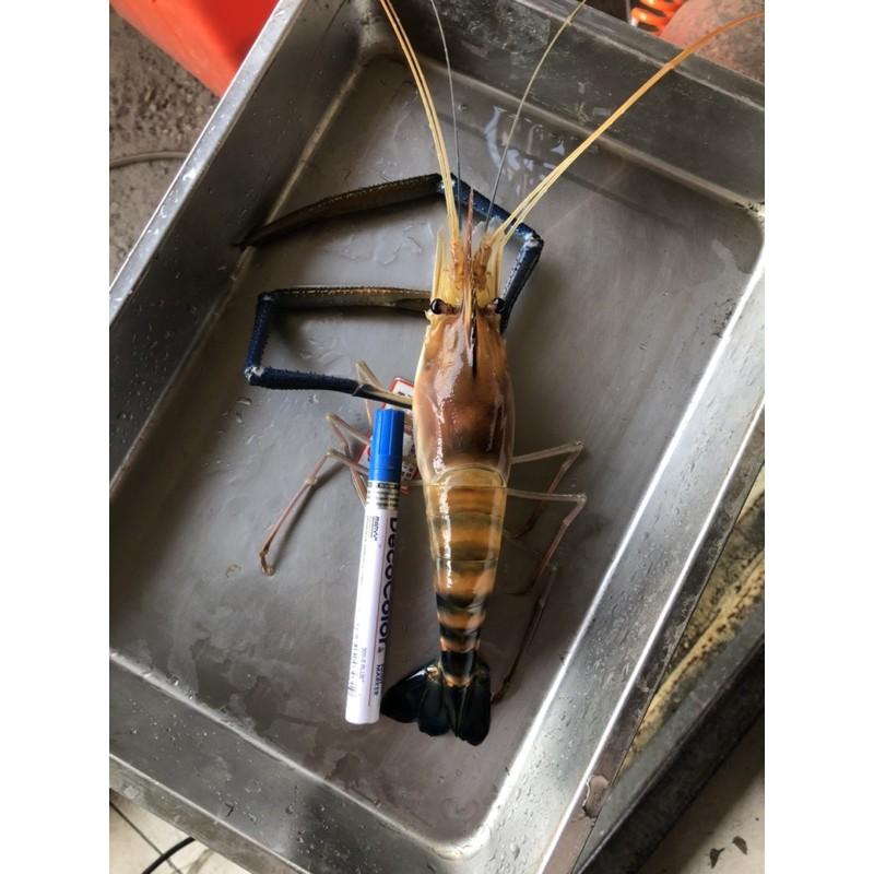 活跳跳泰國蝦,8斤免運 特特大泰國蝦 一斤2隻最多3隻😄,適合過年年菜加菜,數量不多
