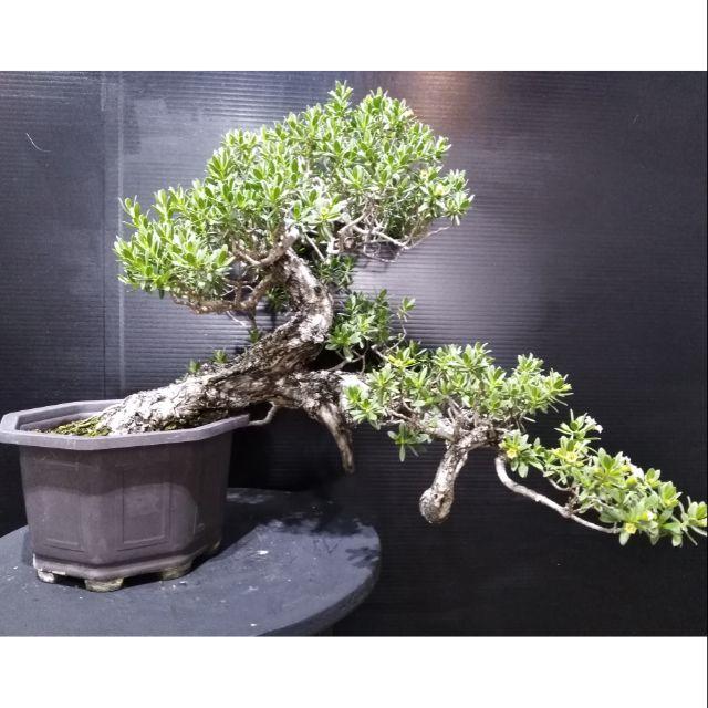 精品海芙蓉🌲🌲🌲小品盆栽