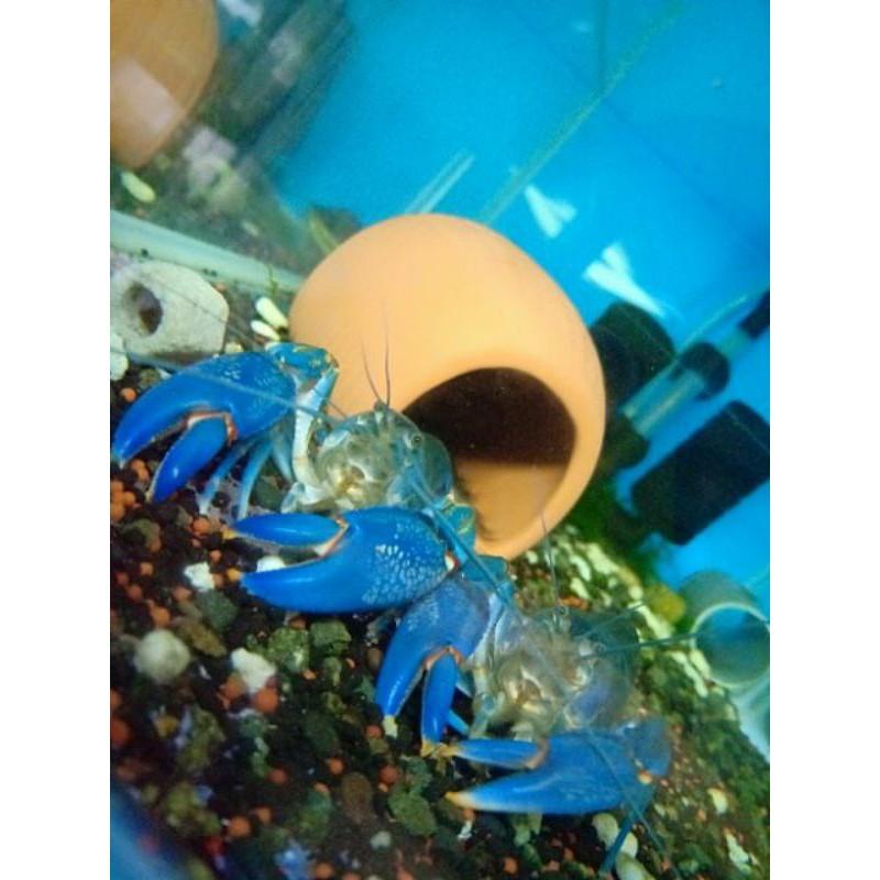 初衷.飼料.天空藍魔破壞仔蝦,破壞者,黃尖螯破壞者,火山基因,星際破壞,白玉破壞釣餌,螯蝦.飼料.龍蝦