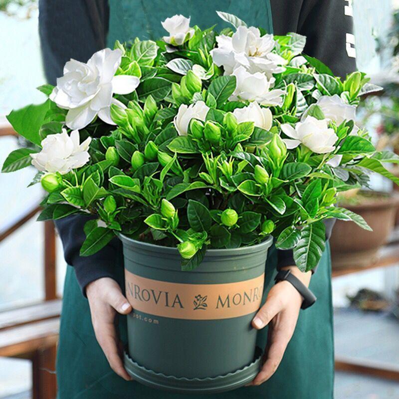 植物 小盆栽【大盆梔子花帶花苞發貨】梔子花盆栽室內花卉綠植水培除甲醛植物