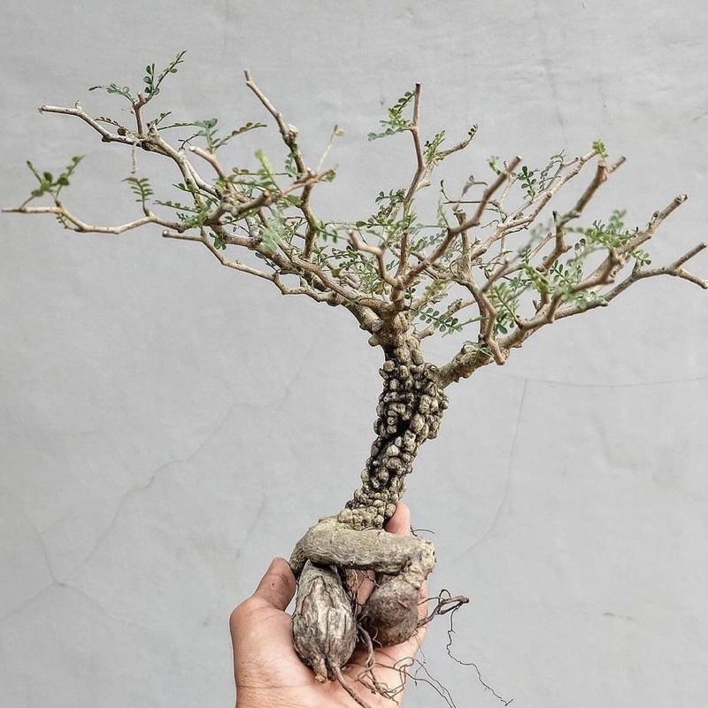 Operculicarya pachypus 象足漆樹 實生苗 塊根