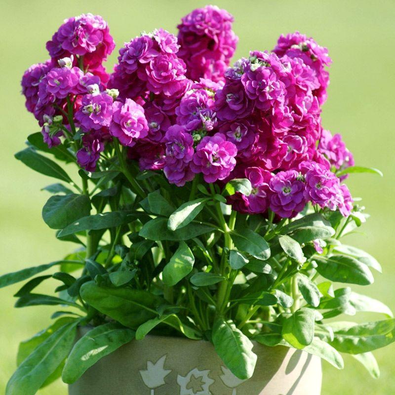 紫羅蘭種子 草桂花富貴花紫羅藍盆栽花庭院陽臺盆栽花卉花籽四季播