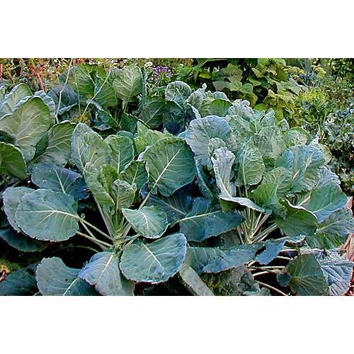 綠葉羽衣甘藍種子(約100顆)