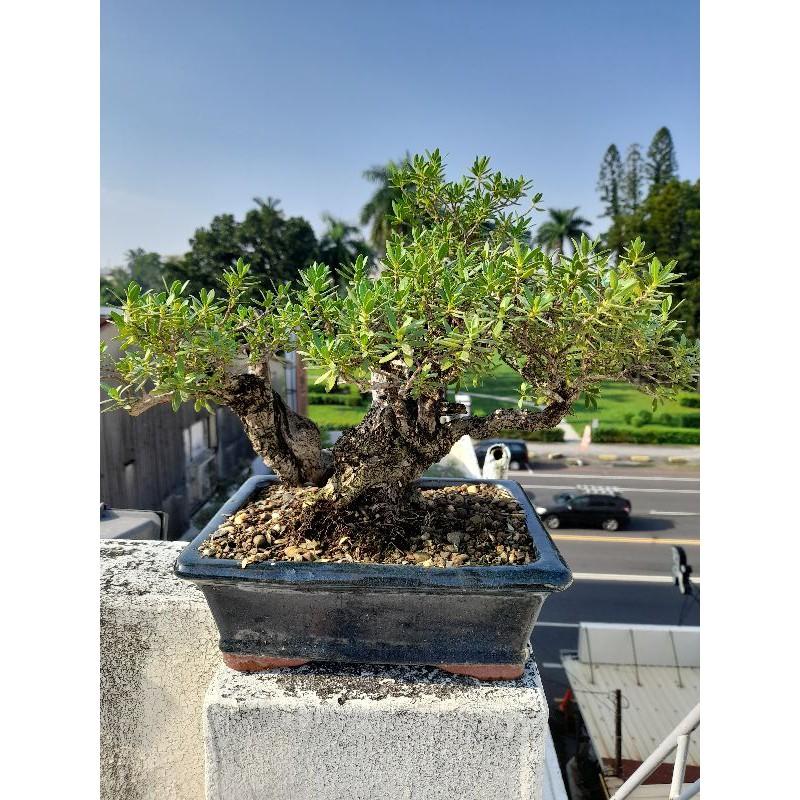 海芙蓉盆栽,精緻小品