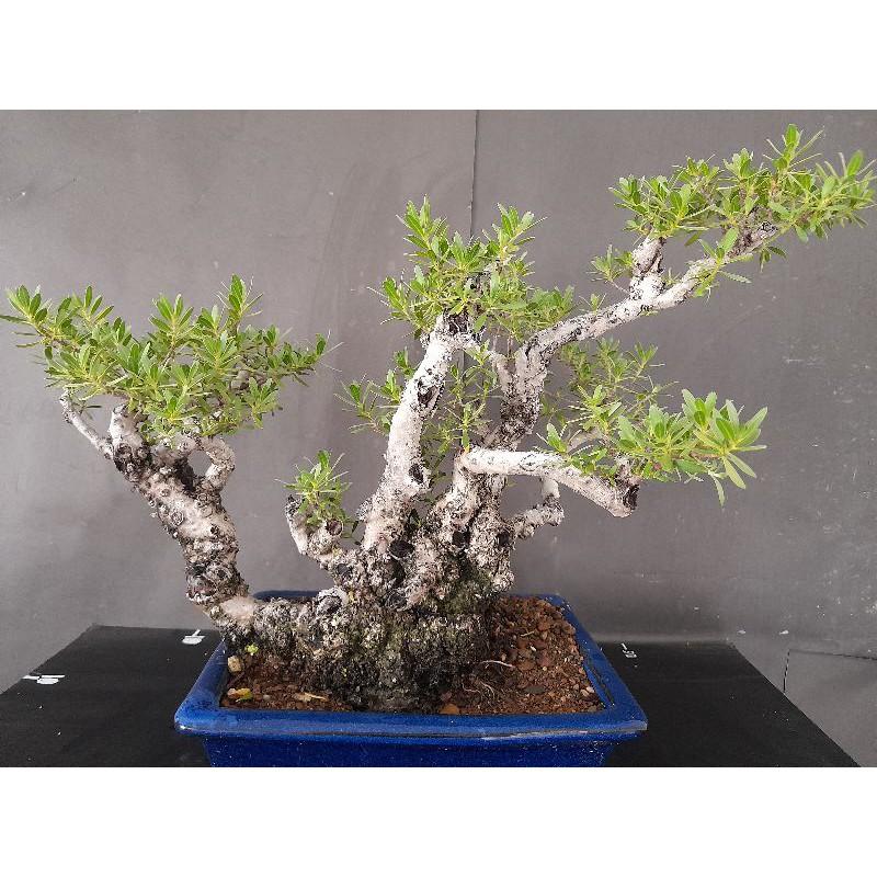 精緻小品海芙蓉盆栽。