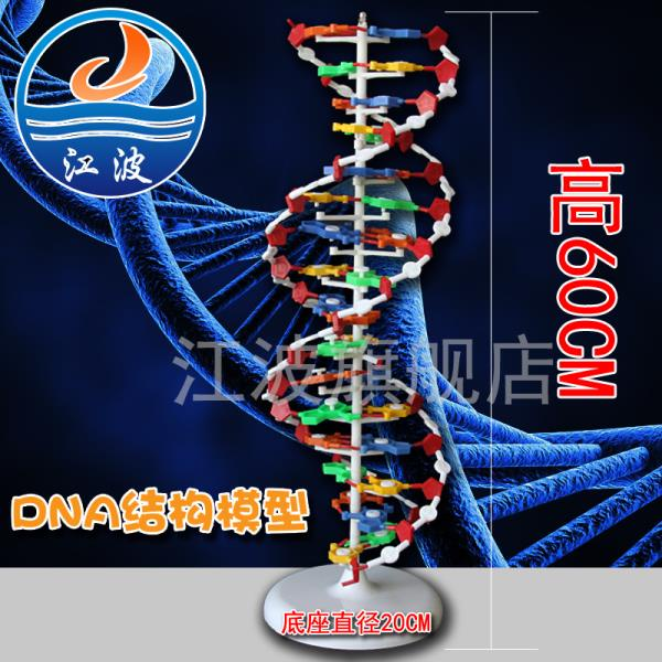 DNA雙螺旋結構模型大號J33306雙螺旋60cm高中堿基對遺傳基因生物教學秋水~麗人