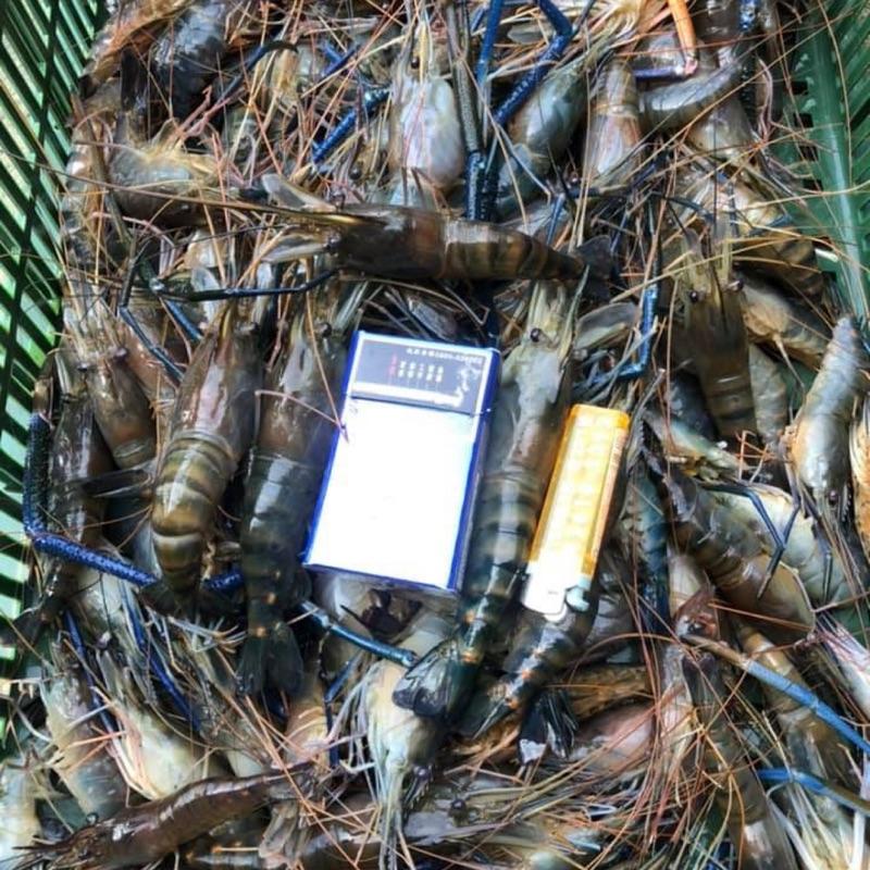 新鮮現撈 產地直送 活泰國蝦/活凍泰國蝦一斤