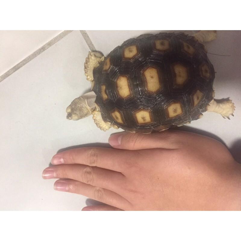 台產的蘇卡達陸龜/象龜