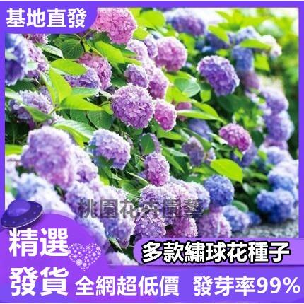繡球花種子八仙花種籽 繡球花種籽 發芽率99% 超低價 限時搶購