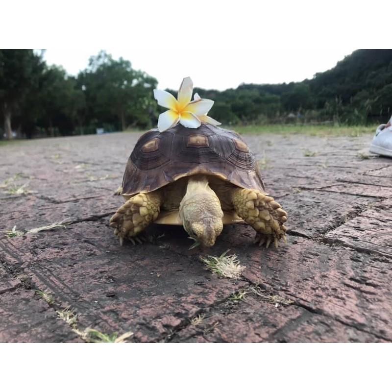 超大20公分蘇卡達象龜/有證書/有生日標示/龜物品全附贈/可議價