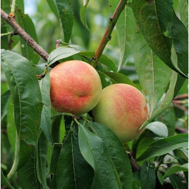 [110年已售完]梨山水蜜桃(海拔2000m) 7/25採 產期2-3星期依下單順序出貨(須先詢問運費)  售完為止