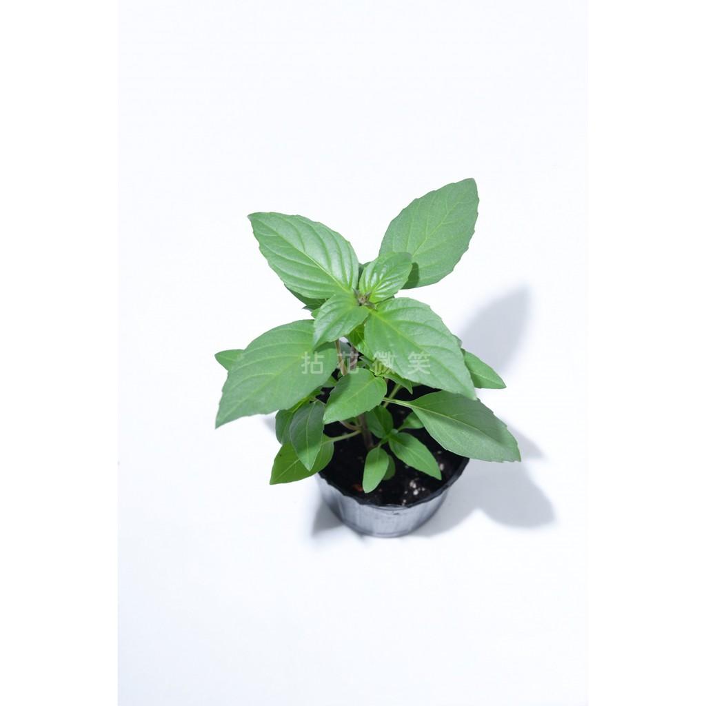 紅骨九層塔。拈花微笑Healthsmile。菜苗 - 調味蔬菜類及蘆筍類