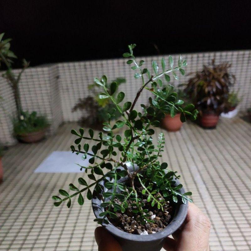 象足漆樹 多肉植物 仙人掌 空氣鳳梨 送禮盆栽 鋁線DIY 開幕誌慶  入新居