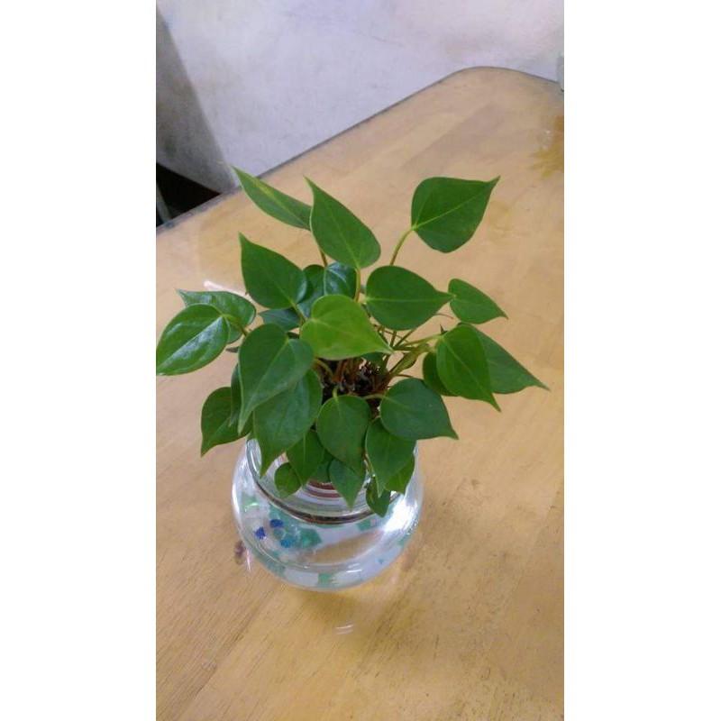 心葉蔓綠絨 水耕盆栽