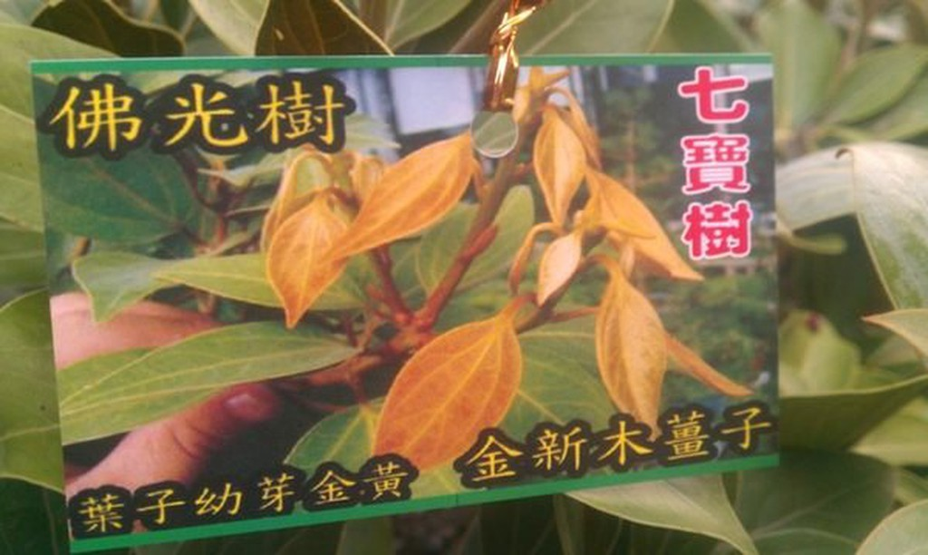 樹苗--佛光樹 一尺盆  ( 金新玉薑子 , 七寶樹 )