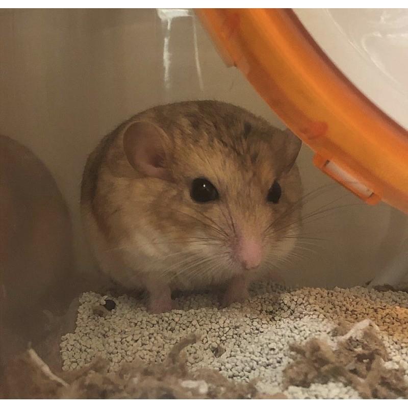 倉鼠飼料 免費認養 免費領養 通心粉 倉鼠