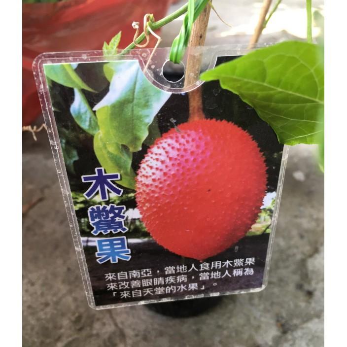 花囍園_水果苗—木鱉果--又名木鱉子、藤桐子~成熟時呈紅色 /4吋高約25-40cm/特價350