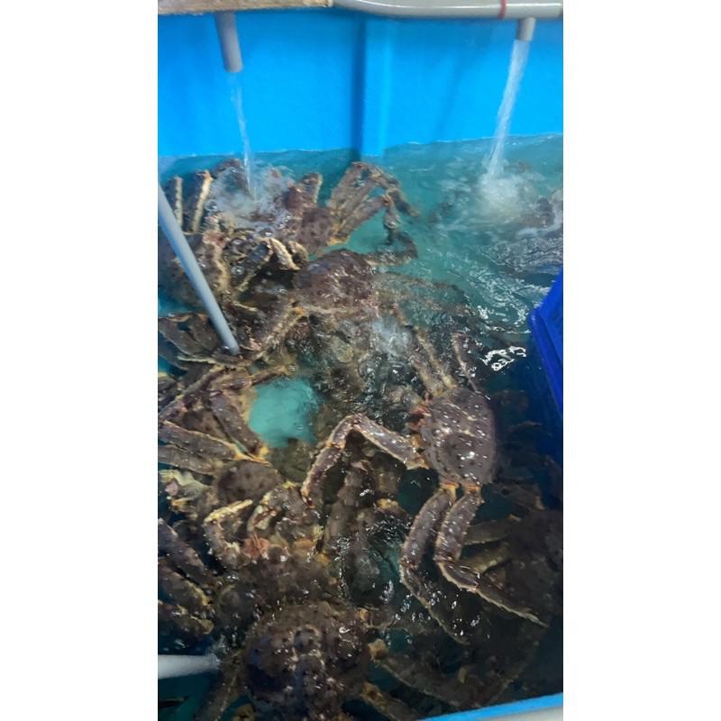 活體帝王蟹(鱈場蟹)1公斤2500