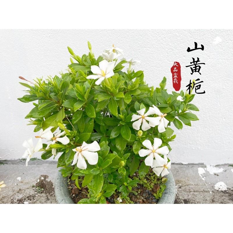 黃梔子花-山黃梔/單瓣香花/大盆栽