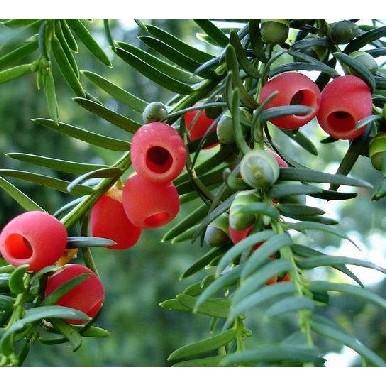 花卉水果苗大批發  《 紅豆杉》